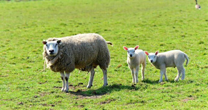 sheep-4339681_1280