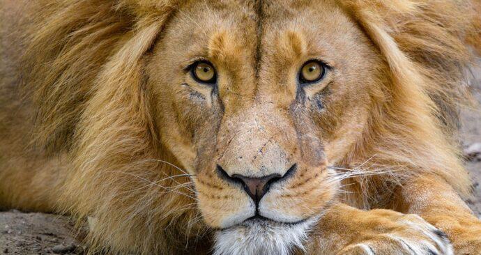 lion-3740159_1280