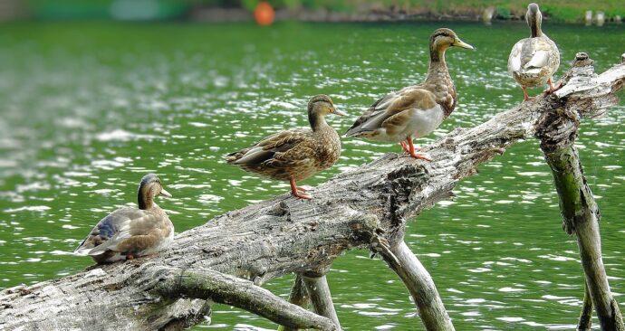 ducks-3649851_1280