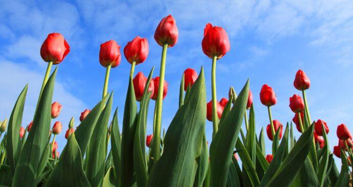 tulips-2573_1920