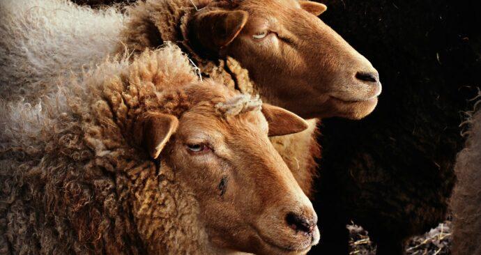 sheep-4133830_1920