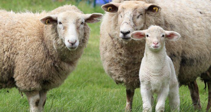 sheep-1547720_1920