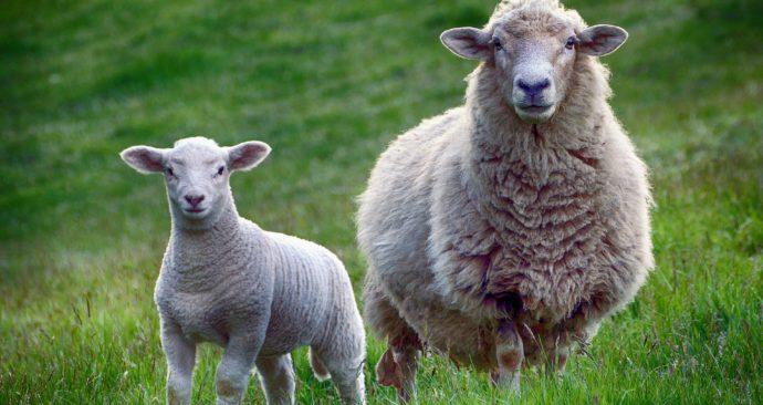 sheep-2641172_1920