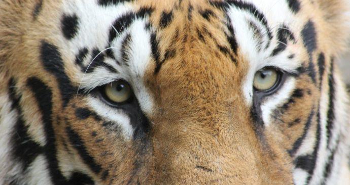 tiger-800102_1920