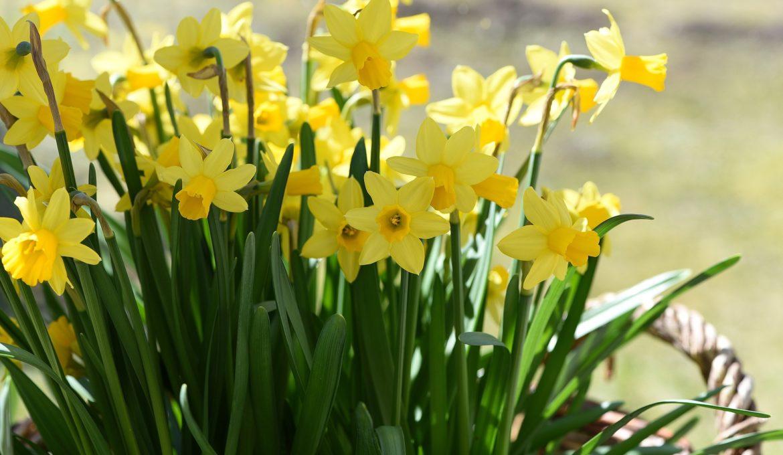 daffodils-716891_1920
