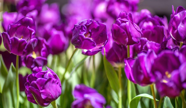 tulips-2292873_1920