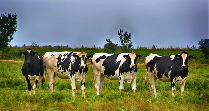 cows-3617847_1920