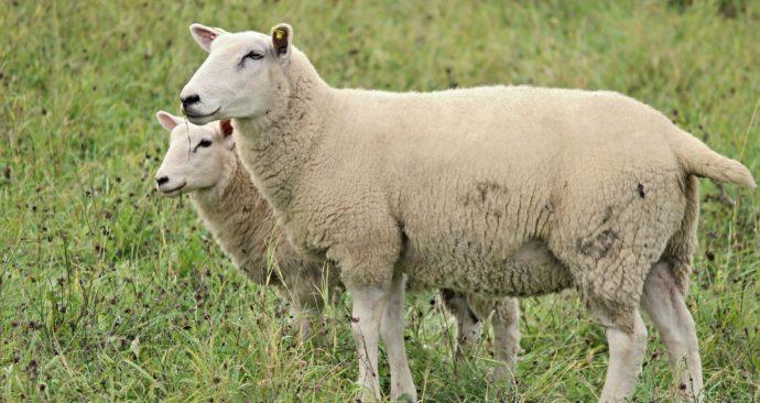 sheep-2800189_1920