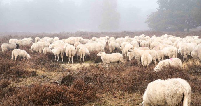 sheep-2631531_1920
