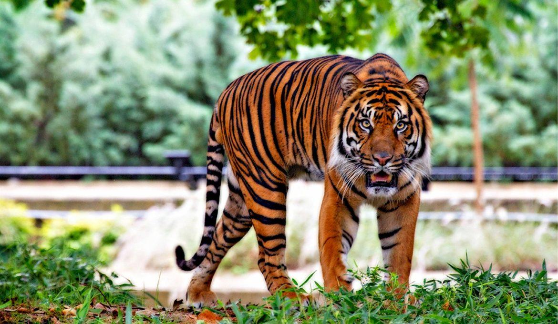 sumatran-tiger-518771_1920