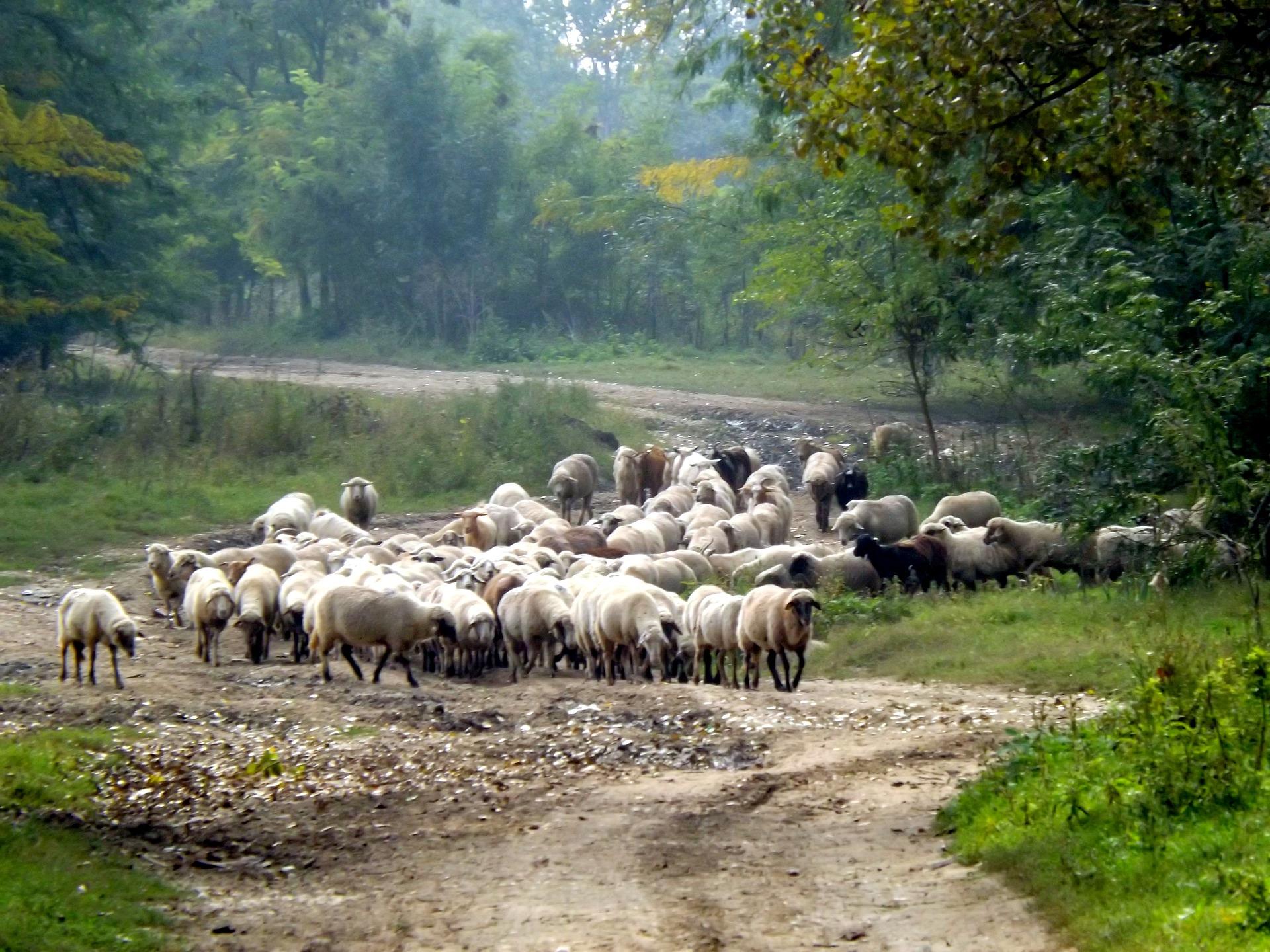 sheep-974762_1920