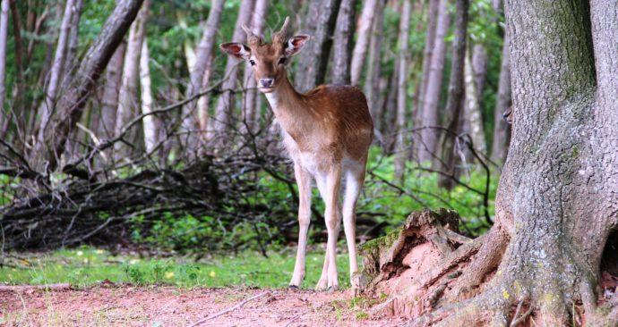roe-deer-2503869_1920