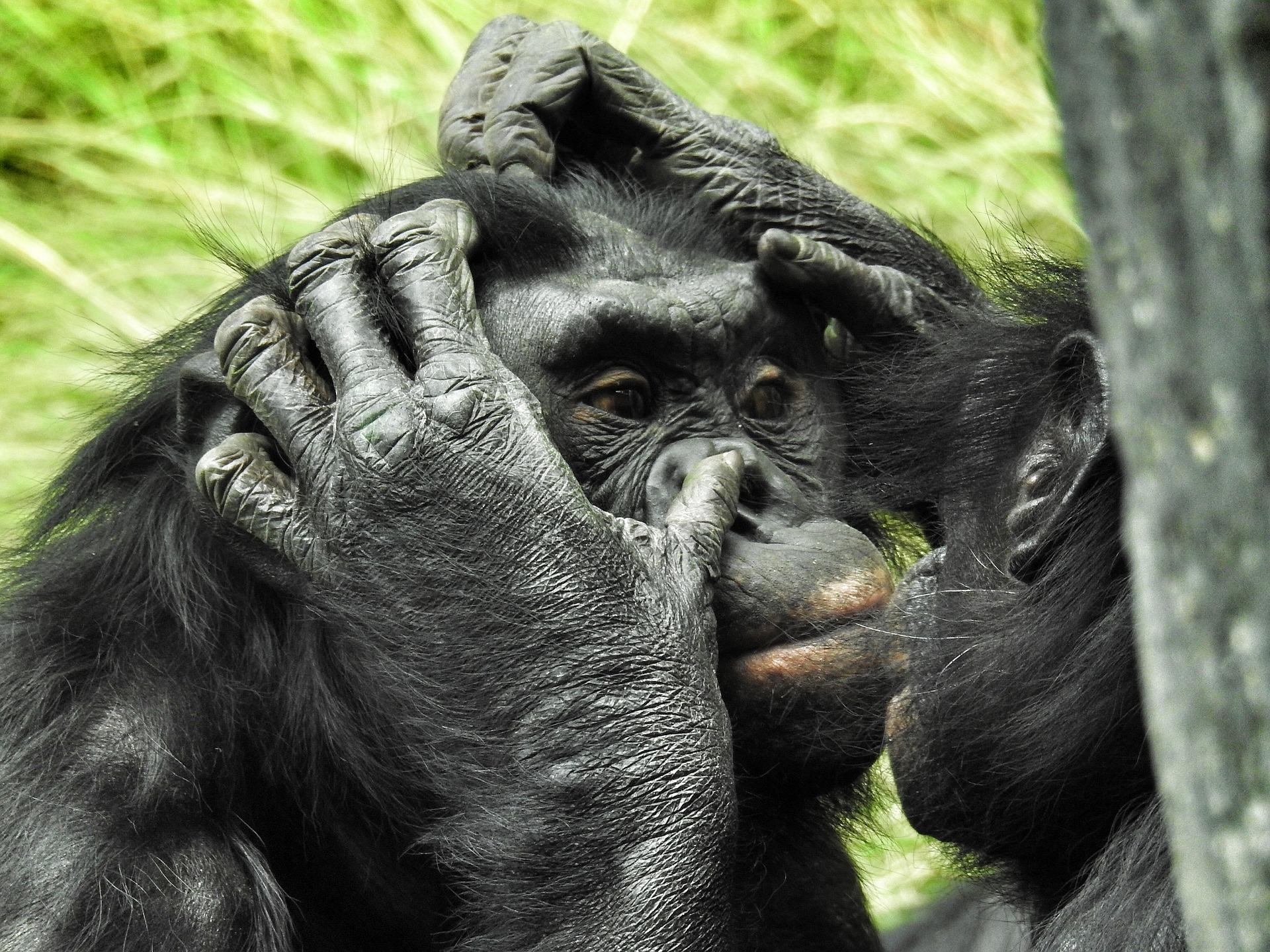 bonobo-2368873_1920