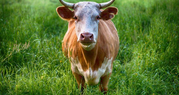 bull-2438032_1920