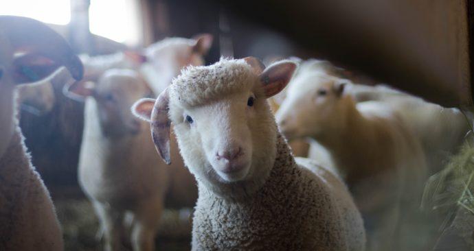 sheep-3025866_1920