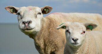 sheep-165027_1280