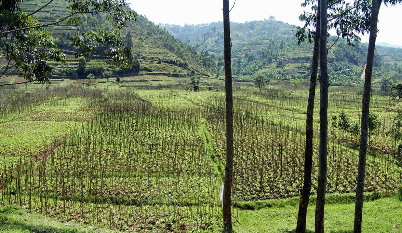 Rwanda-rijstvelden