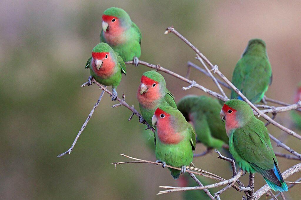 1024px-Rosy-faced_lovebird_(Agapornis_roseicollis_roseicollis)_flock