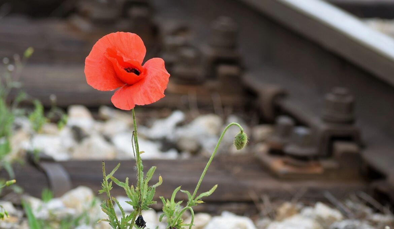 one-red-poppy-5184649_1920